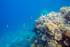 Coral reef  of the red sea. Beautiful and diverse  coral reef and fish of the red sea Stock Image