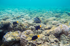 Coral reef  of the red sea. Beautiful and diverse  coral reef and fish of the red sea Stock Images