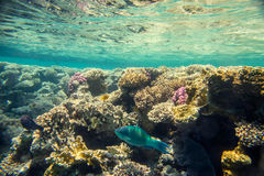 Coral reef of the red sea. Beautiful and diverse coral reef of the red sea with fish Royalty Free Stock Images