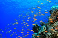 Coral reef in the red sea. Colorful fish in the tropical reef of the red sea Stock Images
