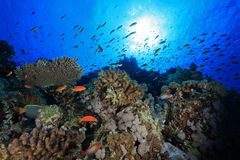 Coral reef in the red sea. Colorful fish in the tropical reef of the red sea Stock Image