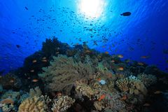 Coral reef in the red sea. Colorful fish in the tropical reef of the red sea Royalty Free Stock Image