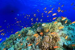 Coral reef in the red sea. Colorful fish in the tropical reef of the red sea Royalty Free Stock Photo