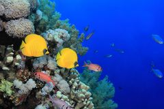 Coral reef in the Red sea. Colorful fish in the tropical reef of the red sea Stock Photography