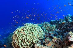 Coral reef in the Red sea. Colorful fish in the tropical reef of the red sea Royalty Free Stock Images