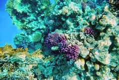 Coral reef in the Red Sea Royalty Free Stock Image