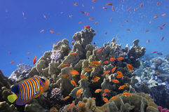 Coral reef, Red Sea,. Egypt Royalty Free Stock Images