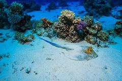 Coral Reef at the Red Sea, Egypt royalty free stock images