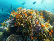 Coral Reef Red Sea Egypt Marsa Alam. School of orange fish on Beautiful Coral Reef Red Sea Egypt Marsa Alam Royalty Free Stock Image