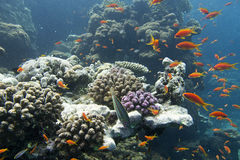 Coral reef. Red sea egypt, orange fishes Royalty Free Stock Photo