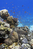 Coral reef and fishes. Coral reef, Red Sea Egypt, red fishes and red sea coral grouper Royalty Free Stock Photos