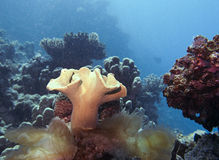 Coral reef. Red sea egypt, rough leather coral Stock Photo