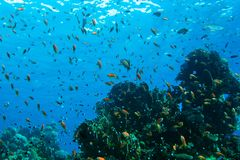 Coral reef in Red sea. Background royalty free stock photo