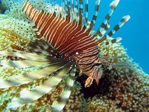 Coral reef in red sea with lionfish. Lionfish on the coral reef Stock Photos