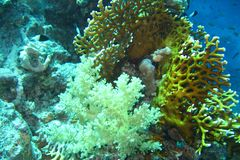 Coral reef in Red sea royalty free stock photography
