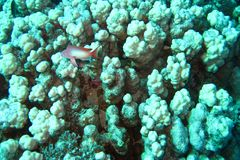 Coral reef in Red sea. Background stock photo