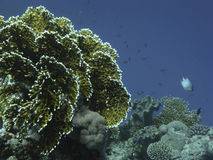 Coral reef in the Red Sea near Dahab Royalty Free Stock Image