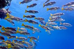 Coral reef in red sea with shoal of goatfish. Underwater photo Royalty Free Stock Photos