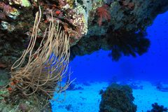 Coral reef in the red sea. Soft coral in the tropical reef of the red sea Stock Photos