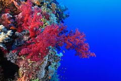 Coral reef in the Red Sea. Red soft coral in the tropical reef of the red sea Royalty Free Stock Photo