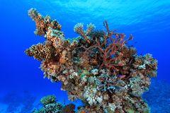 Coral reef in the red sea. Coral structure in the tropical reef of the red sea Royalty Free Stock Photos