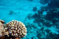 Coral reef, Red sea. Underwater coral reef background, Red sea, Egypt Royalty Free Stock Photo