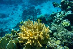 Coral reef, Red sea. Underwater coral reef background, Red sea, Egypt Stock Image