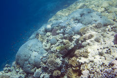 Coral reef in Red Sea. Underwater life of Red sea in Egypt. Saltwater fishes and coral reef. Colorful coral reef Stock Images