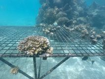 Coral Reef restoration in Rarotonga Cook Islands. Coral reef restoration in Rarotonga, Cook Islands. Coral reefs are among the most productive and biologically Stock Photography
