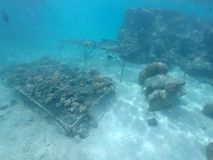 Coral Reef restoration in Rarotonga Cook Islands. Coral reef restoration in Rarotonga, Cook Islands. Coral reefs are among the most productive and biologically Royalty Free Stock Images