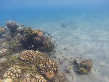 Coral reef on sand bottom. Exotic island shore shallow water. Tropical seashore landscape underwater photo. Coral reef view. Sea nature. Sea fish in coral Royalty Free Stock Photo
