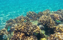 Coral reef and sand seabottom. Tropical seashore inhabitants underwater photo. Coral reef animal. Warm sea nature. Colorful sea fish and corals. Undersea view Royalty Free Stock Photography