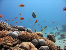 Coral Reef Scene. A lively coral reef, with an angel fish stock photography