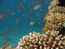 Coral Reef Scene. Coral reef with finger coral, small fish and divers in the background stock image