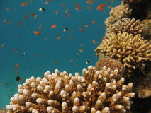Coral Reef Scene. Coral reef with finger coral and small fish in the background Royalty Free Stock Photo