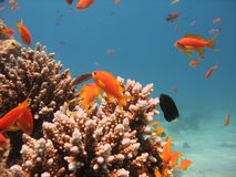Coral Reef Scene. With scalefin anthias royalty free stock photography