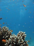 Coral Reef Scene. With scalefin anthias and bubbles in the background stock photos