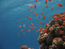 Coral Reef Scene. With scalefin anthias stock photography