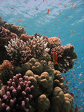 Coral Reef Scene. With many fish royalty free stock images