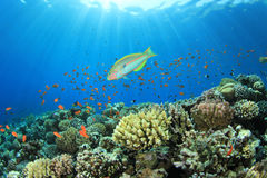Coral Reef Scene Stock Image