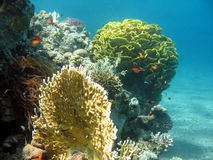 Coral Reef Scene. A picture of a coral reef. shot in the Red Sea Royalty Free Stock Images