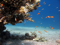 Coral Reef Scene. A picture of a coral reef teeming with life. shot in the Red Sea Stock Images