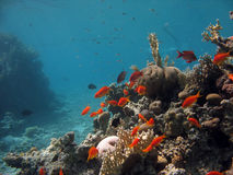 Coral Reef Scene. A picture of a coral reef teeming with life. shot in the Red Sea royalty free stock photography