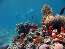 Coral Reef Scene. A picture of a coral reef teeming with life + swimmers in the background. shot in the Red Sea stock images