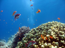 Coral Reef Scene. A picture of a coral reef. shot in the Red Sea royalty free stock photography