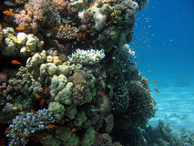 Coral Reef Scene. A picture of a coral reef. shot in the Red Sea Royalty Free Stock Photo