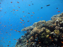 Coral Reef Scene. A picture of a coral reef. shot in the Red Sea Royalty Free Stock Photos