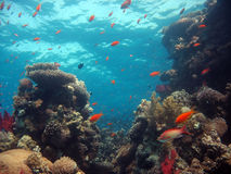 Coral Reef Scene. With many fish royalty free stock image
