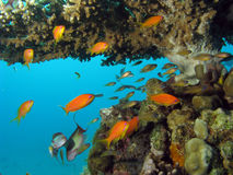 Coral Reef Scene. With many fish stock photos