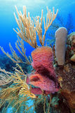 Coral reef scene. On the reefs off the island of Roatan in Honduras Stock Image